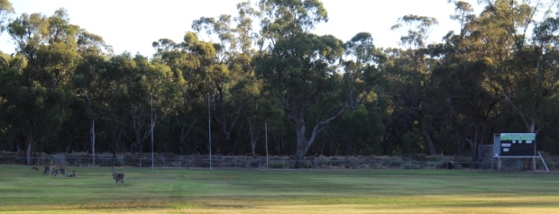 Kangaroos on footy ground